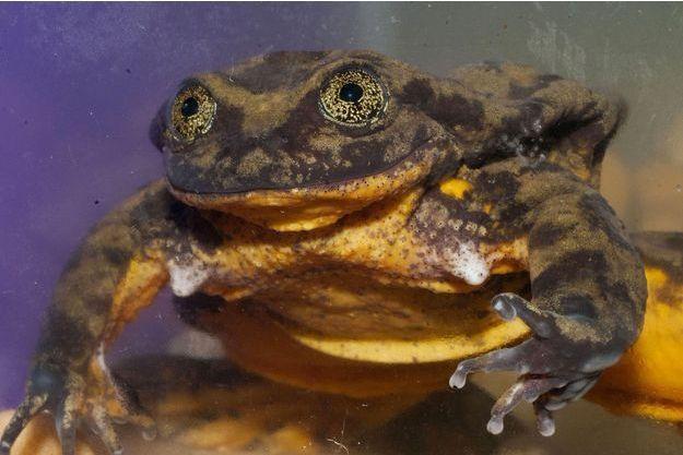 """Roméo, grenouille menacée d'extinction, a trouvé sa """"Juliette""""."""