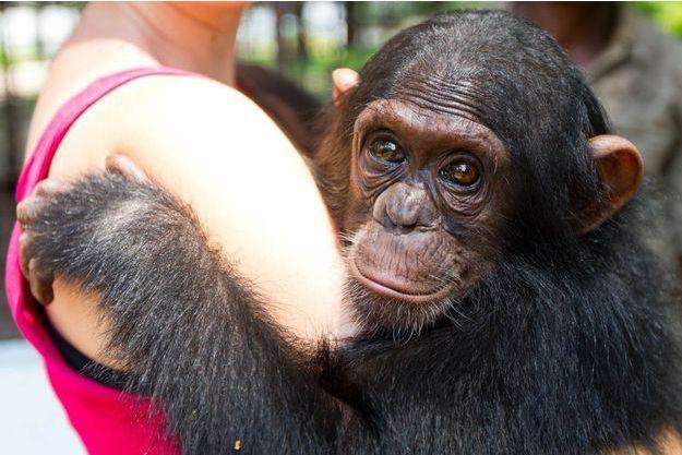 Le chimpanzé partage 99% de gênes communs avec l'être humain.