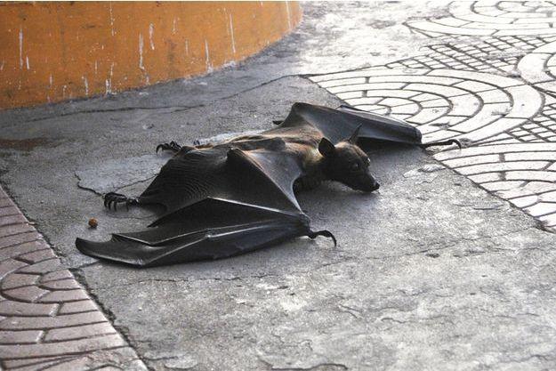 Une chauve-souris de Bhopal en train d'agoniser.