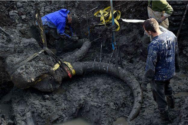 Les scientifique de l'université du Michigan travaillent sur l'extraction du squelette de mammouth.