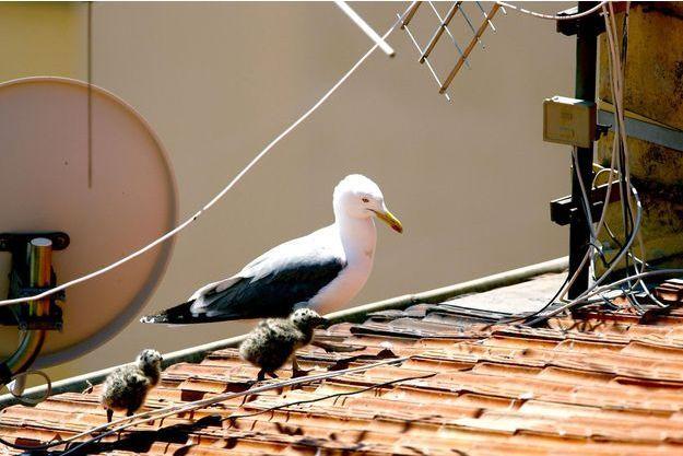 Un goéland et ses petits sur les toits de Monaco.