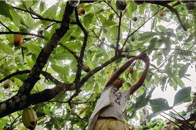 Récolte du cacao dans la plantation de Terreiro Velho de Claudio Corallo sur l'île de Principe.