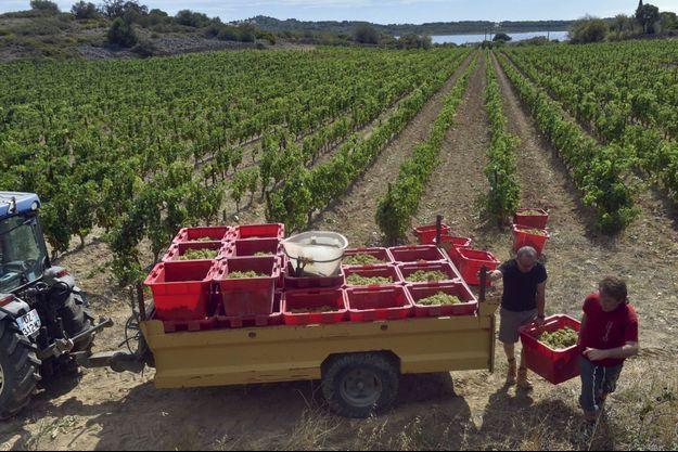 Premières récoltes de muscat à Fitou (Aude), début août. La filière viticole a du mal à pourvoir ses postes de vendangeurs.