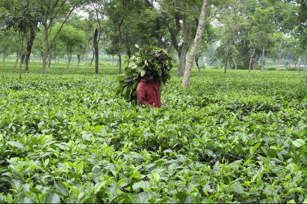 Un ouvrier transporte des feuilles de thé près de Darjeeling en Inde, en 2009.