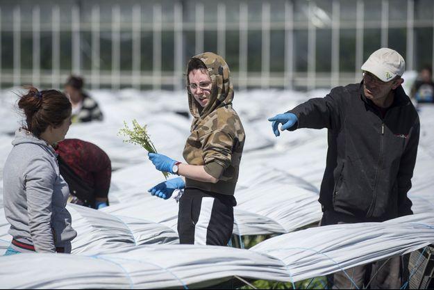 Récolte du muguet à Saint Philbert-de-Grand-Lieu, près de Nantes, le 14 avril.