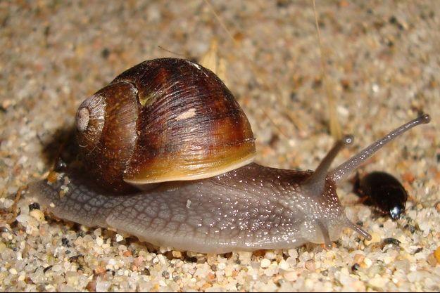 Les escargots et les limaces sont en première ligne de cette nouvelle extinction de masse.