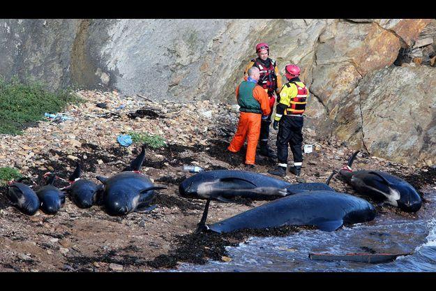 Dix-sept baleines échouées en Ecosse.