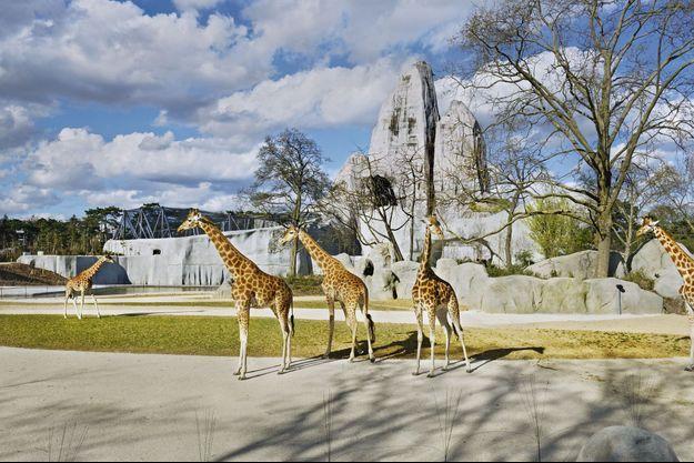 Le groupe des girafes était si soudé que les responsables n'ont pas voulu les séparer.