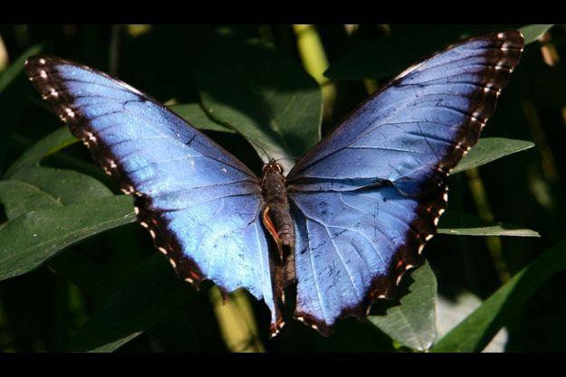 Photo d'illustration (il ne s'agit pas du papillon analysé.)