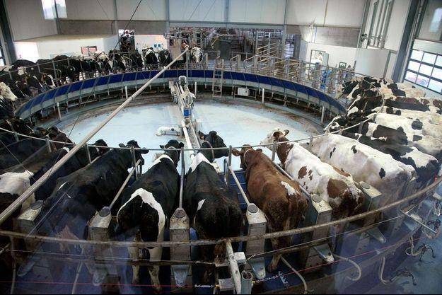 L'exploitation compte en réalité 794 vaches au lieu des 500 autorisées.
