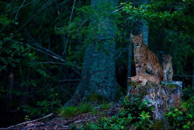 Le 28 août 2012, à 21 heures, une mère lynx et ses deux petits de 3 mois. Un instant de grâce qui aura nécessité, quatre jours de planque non-stop.
