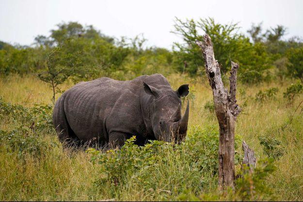 Un rhinocéros dans une réserve, non loin du parc Kruger, en Afrique du Sud.