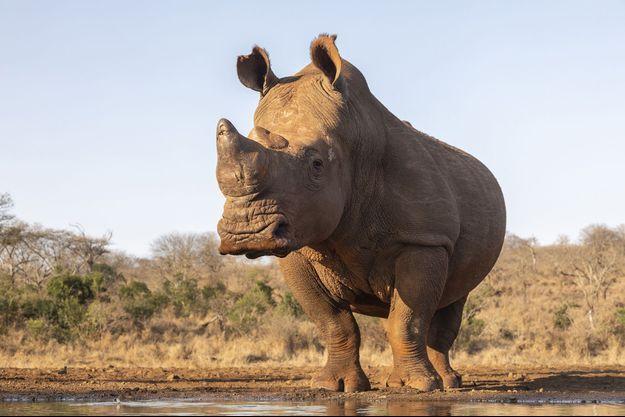 Un rhinocéros en Afrique du Sud.