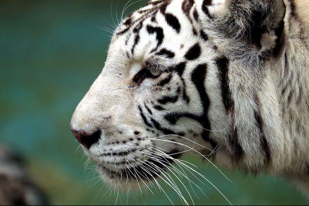 Un tigre blanc au Pérou (image d'illustration).