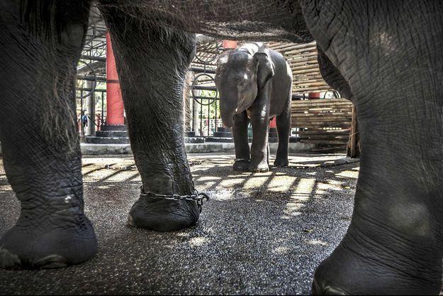 Des éléphants attachés en Thaïlande.