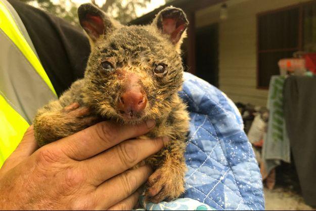 Un opossum sauvé des feux de forêts en Australie.