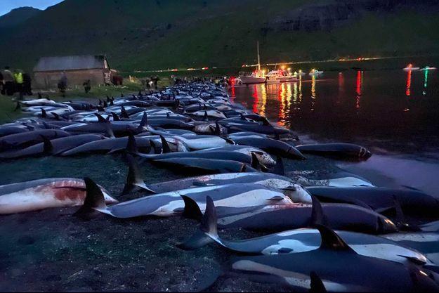 Les corps des dauphins gisants sur le sol, aux îles Féroé.