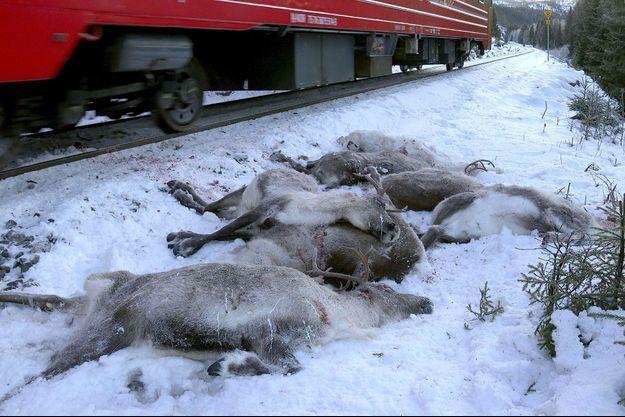 Sept rennes tués par le passage d'un train, en Norvège.