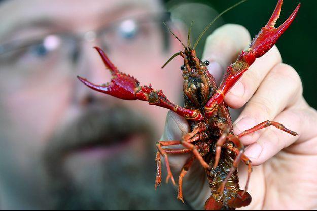 Un guide tient dans sa main une écrevisse de Louisiane, trouvée dans le parc Tiergarten, à Berlin.