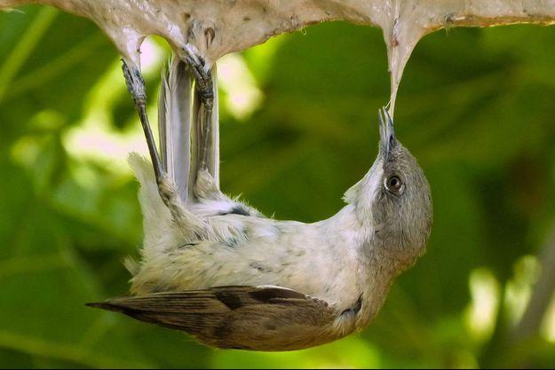 Un oiseau mort d'un piège à la glu.