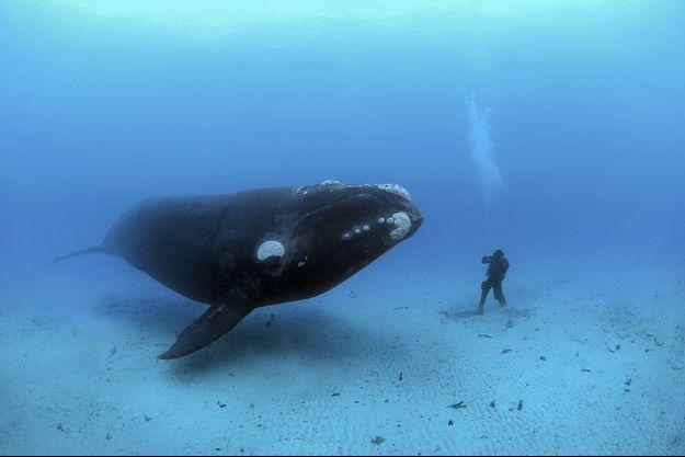 Une baleine franche australe face à l'assistant de Brian Skerry, au large des îles Auckland, en Nouvelle-Zélande, en 2007.