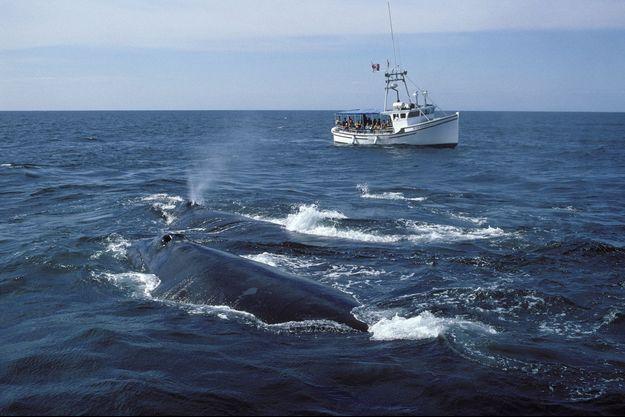 Une baleine dans les eaux du New Brunswick (Canada).