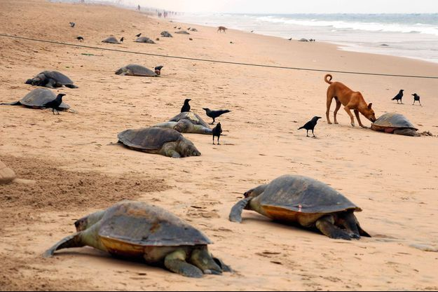 Des tortues mortes.
