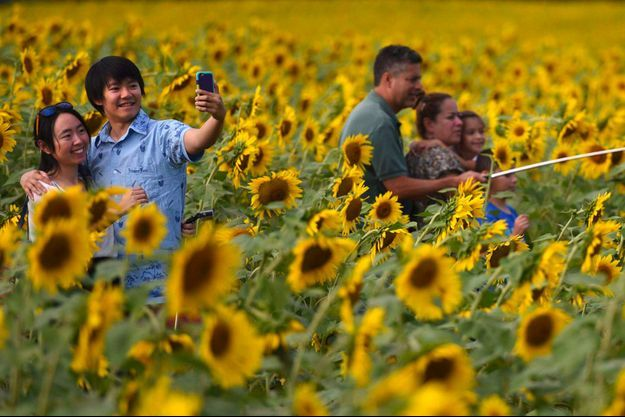 Des personnes s'introduisent dans un champ de tournesols pour se prendre en selfie.