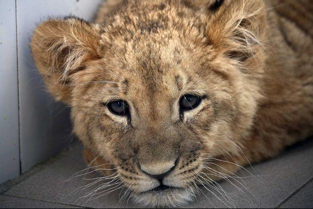 Un lionceau saisi en Russie.