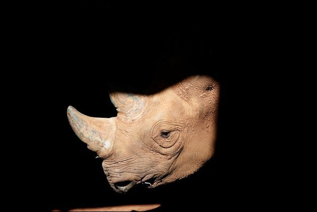 Un specimen de Rhinocéros noir