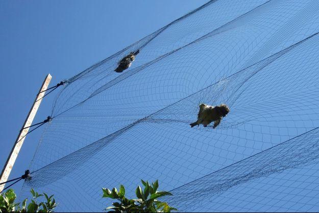 Deux oiseaux piégés par des filets, dans le village Ayios Theodoros à Chypre.