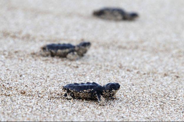 Des bébés tortues essayent de rejoindre la mer, ils doivent d'ores et déjà éviter les prédateurs qui rodent sur la plage.