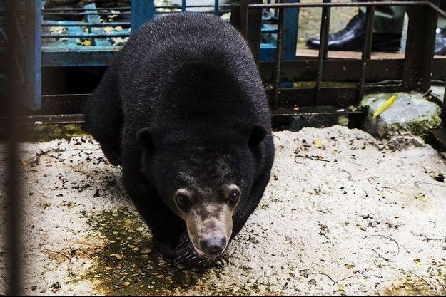 L'ours noir d'Asie