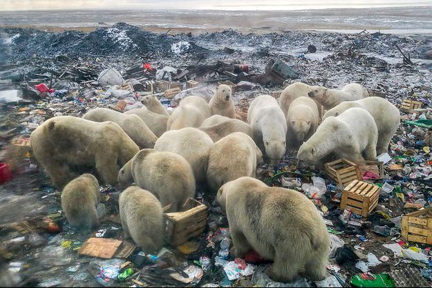 Des dizaines d'ours polaires à la recherche de nourriture ont approché en février Belouchia Gouba, ville principale de l'archipel arctique de la Nouvelle-Zemble, certains entrant dans les immeubles et se montrant agressifs.