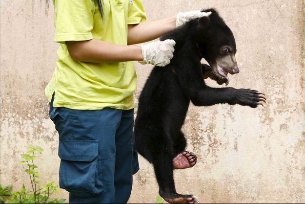 Illustration d'un ours malais saisi par les autorités de Kuala Lumpur (Malaisie).