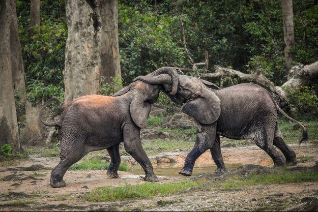 Un combat d'éléphants dans réserve de Dzanga-Sangha, en Centrafrique.
