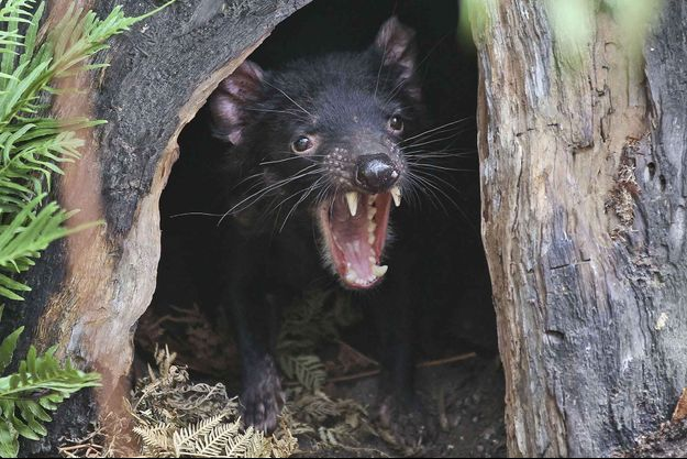 Illustration d'un diable de Tasmanie.