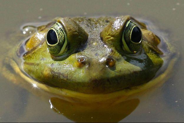 Une grenouille. (photo d'illustration)