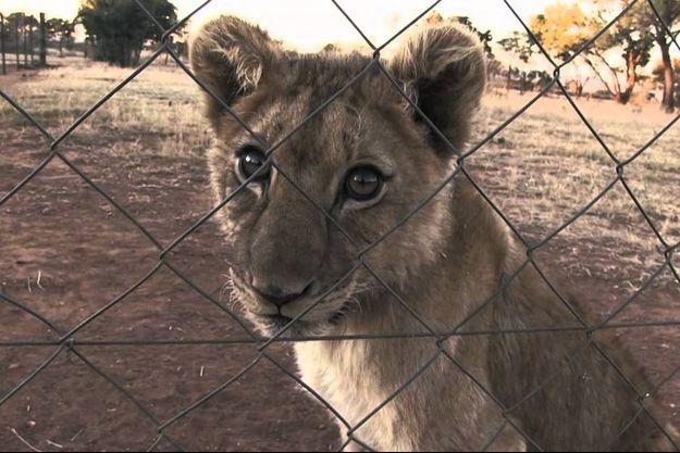 Sur les 8000 lions élevés en captivité, plus de 800 ont été abattus par des chasseurs en Afrique du Sud en 2014.
