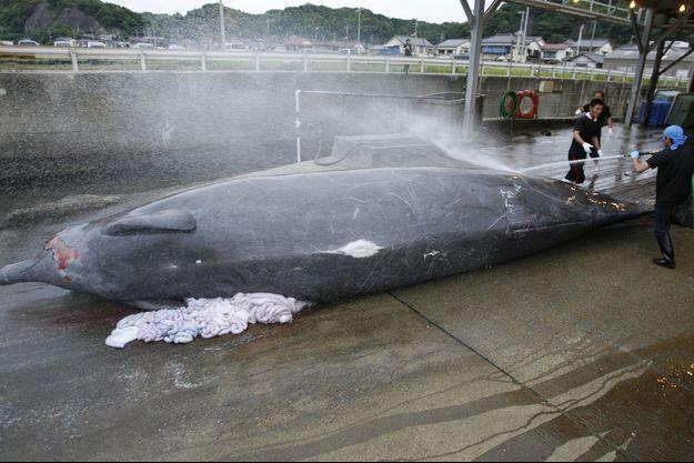 Une baleine morte dans un port au sud-est de Tokyo en 2008.