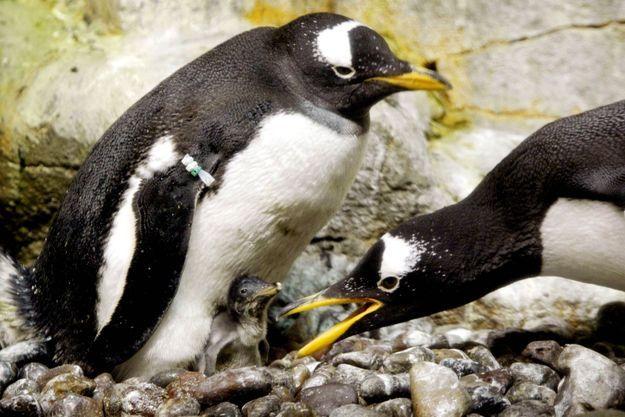 Pingouins de l'aquarium de Shedd à Chicago.