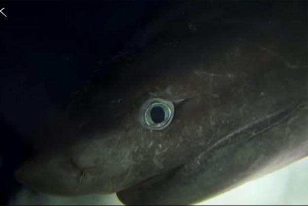Un requin griset femelle filmé à 400 mètres de profondeur, début juillet, par des chercheurs de l'université de Floride.