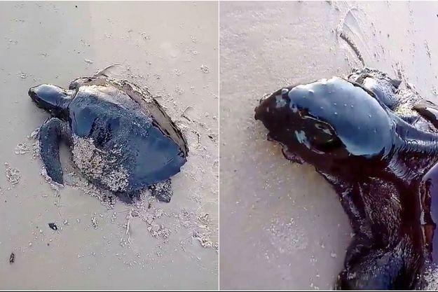 Une tortue recouverte de pétrole sur une plage au Brésil.