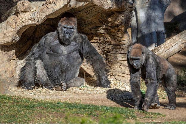 Des gorilles du zoo de San Diego photographiés le 10 janvier.