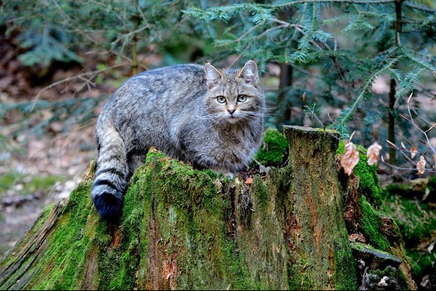 Un chat sauvage