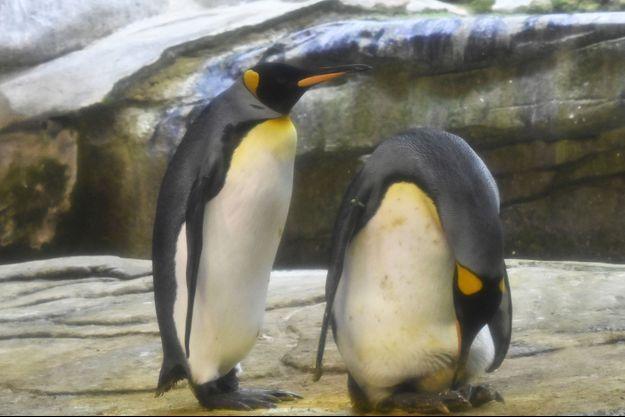 Skipper (à dr.) et Ping, pingouins homosexuels du zoo de Berlin, photographiés jeudi.