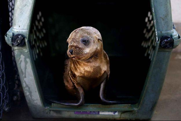 Un bébé lion de mer recueilli en Californie.