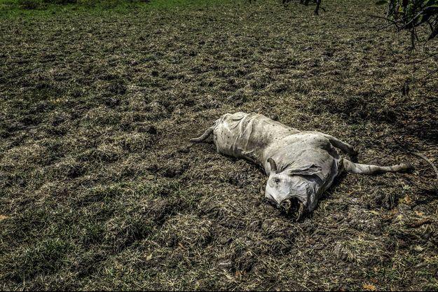 Le cadavre d'une vache à La Mojana (Colombie) où El Nino a fortement sévi en 2016.