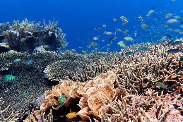 Des coraux de la Grande barrière de corail.