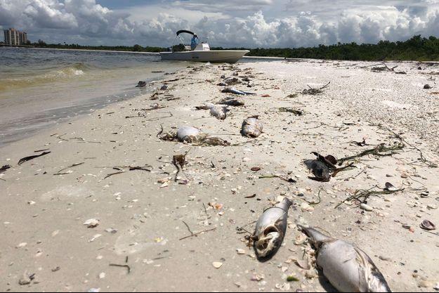 """Des centaines de poissons tués par la """"marée rouge"""" à Bonita Springs, en Floride."""